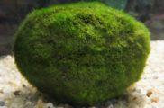 Cladophora aegagropila Gałęzatka