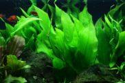 Echinodorus bleheri żabienica Blehera
