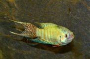 Macropodus opercularis – wielkopłetw wspaniały