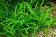 Sagittaria platyphylla Strzałka Szerokolistna